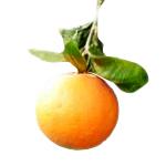 オレンジ・スィートの画像