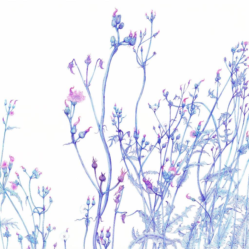 08. また育った野襤褸菊の画像
