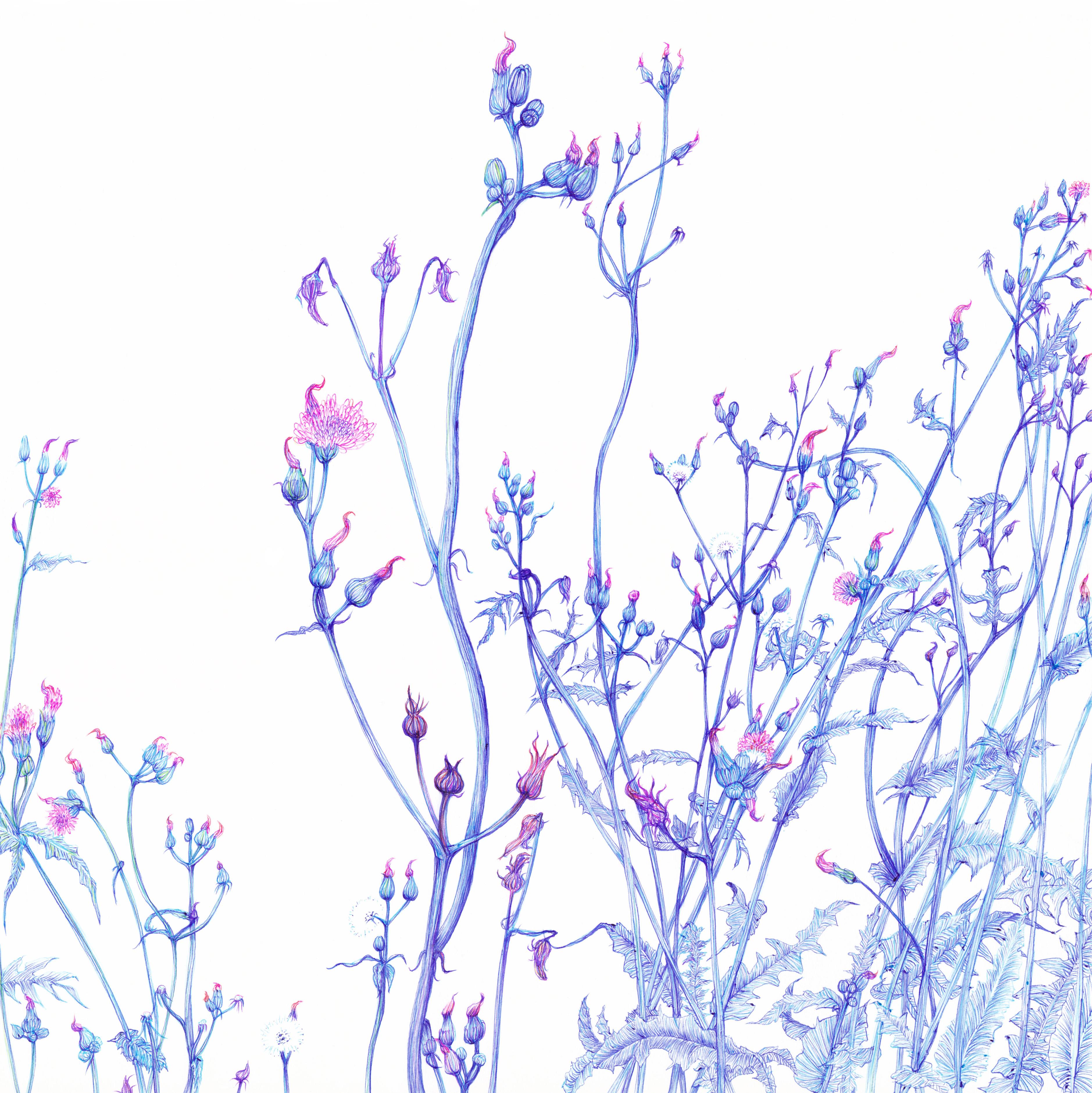 08. また育った野襤褸菊画像